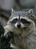 Thick Raccoon.