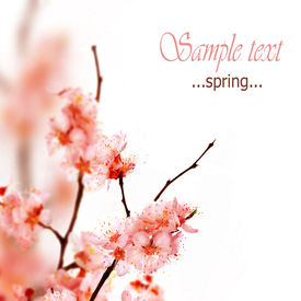 picture of cherry blossoms  - Spring Blossom - JPG