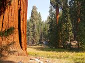 Sequoias By The Meadow