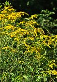 stock photo of goldenrod  - The bright yellow flowers of the showy goldenrod plant blow in the summer breeze - JPG