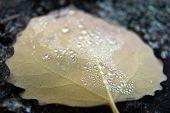 Pearls On A Leaf