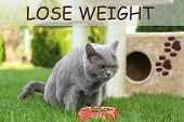 Motivation quote LOSE WEIGHT and cute overweight cat eating pet food outdoors poster