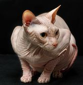 Closeup Cat Of Breed Sphynx Isolated On Black Background poster