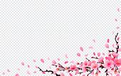 Realistic Sakura Japan Cherry Branch With Blooming Flowers. Spring Fresh Pink Design On Transparent  poster