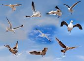 Set Of Flying Seagulls