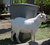Goat next to garbage bin