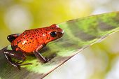 red poison strawberry frog on leaf in tropical jungle of Panama and Costa Rica. Beautiful bright col