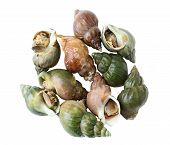 stock photo of babylonia  - Babylonia areolata sweet snails isolated on white - JPG