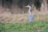 Grey Heron (ardea Cinerea) In Field Near Ditch Looking For Food. poster