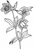 foto of helleborus  - Branch of plant Helleborus viridis with flowers - JPG