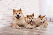 Adorable Akita Inu Dog And Puppies On Floor Indoors poster