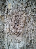 The Bark Of An Old Tree Platanus Orientalis. Brown - Beige Colors In An Exfoliating Bark. Balkans poster