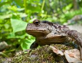 Far Eastern Toad