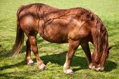 stock photo of shire horse  - Close up of a British Suffolk Punch shire horse eating - JPG