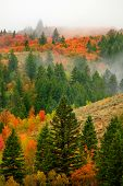 Autumn fall maple and pine trees on mountainside with fog fading poster
