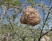 Nest in thorns