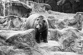 Wild Animal Life. Wild Animal In Natural Environment. Wild Bear Species. Large Brown Bear In Wild Li poster