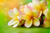 pic of frangipani  - Frangipani Tropical Spa Flower - JPG