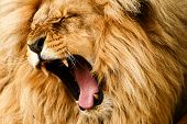 stock photo of gold tooth  - Yawing lion  - JPG