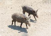 Couple Of Wild Boars Sus Scrofa , Wild Swine, Eurasian Wild Pig poster