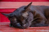 Close-up Portrait Of Thai Cat., Sleeping Cat poster