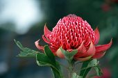 Red And Magenta Flower Head Of A Native Australian Protea, The Waratah, Telopea Speciosissima, Famil poster