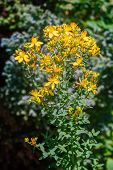 St. Johns Wort Plant With Blossoms poster
