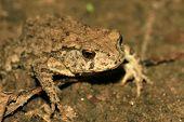 Bufo Toads