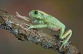 Waxy Tree Frog Climbing