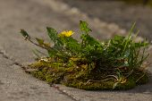 Weed Dandelion Growinf On The Asphalt. Pavement Grass. Biological Control poster