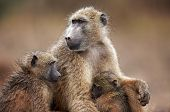 Chacma Baboon With Infant