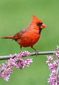 stock photo of cardinal-bird  - Male Northern Cardinal (cardinalis) on a branch with flowers in spring