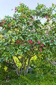 Jatropha Tree