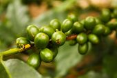 Coffee Plants To Mature.