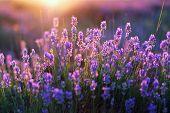 Lavendel-Blüten