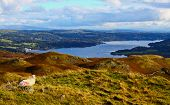 Sheep overlooking Windermere