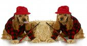 hunting dogs - two american cocker spaniels dressed up in plaid shirts with hunting guns isolated on white background