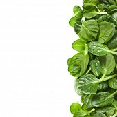 border of fresh green leaves spinach or pak choi isolated on a white background