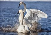 pic of trumpeter swan  - Trumpeter swans exhibiting courtship behavior - JPG