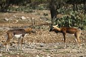 image of veld  - A pair of male blackbucks battle for a mate - JPG