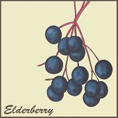 stock photo of elderberry  - vintage background with Elderberry  - JPG