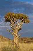 Namibia Quiver Tree