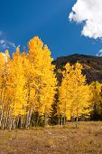 picture of colorado high country  - Vivid yellow aspens in high country of Colorado - JPG