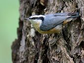 Red-breasted Nuthatch Clinging