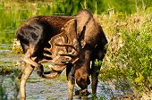 Bull Moose In A Marsh
