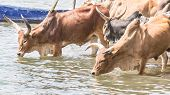 Cattle Drinking Water