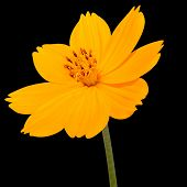 Orange Cosmea Rose With Green Stem Isolated On Black