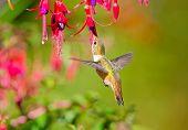 Rufous Hummingbird and Hardy Fuchsia Flowers