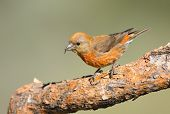picture of crossbill  - Male Red Crossbill on a branch - JPG