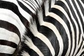 Black and white striped zebra